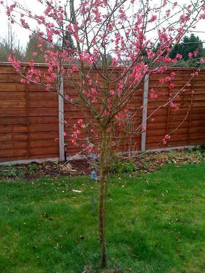 Japanese tree in bloom