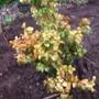 Buxus latifolia aurea
