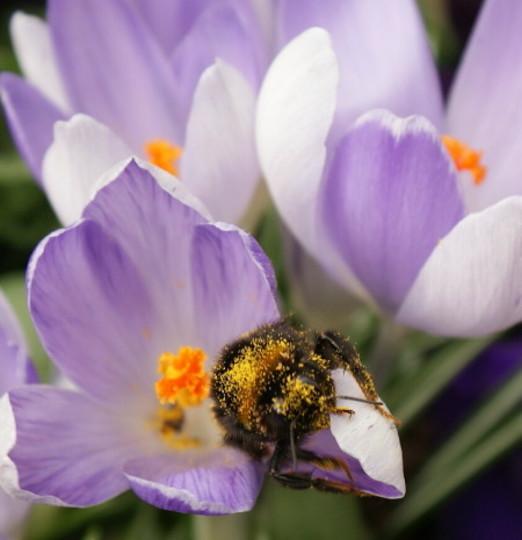 Bee coverd in pollen