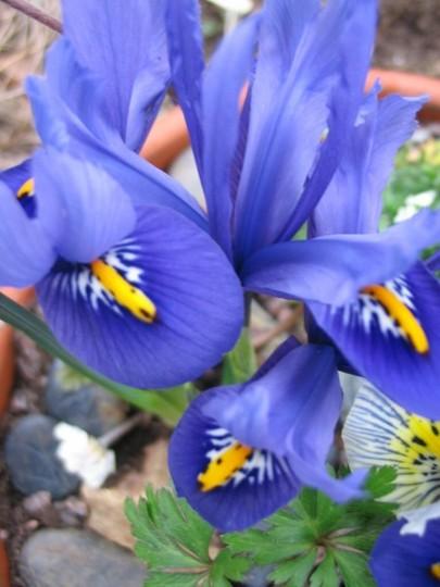 Harmony (Iris reticulata)