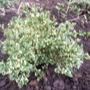 Buxus sempervirens 'Argenteo variegata'