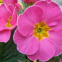 Pink_polyanthus_close_up