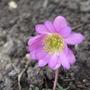 Pink_anemone_blanda