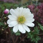 White_anemone_blanda