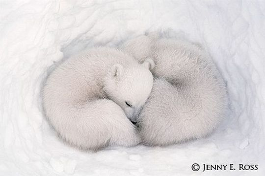 TWIN POLAR BEAR CUBS IN DEN