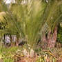 Macrozamia communis - Cycad  (Macrozamia communis - Cycad)