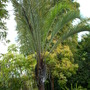 Dypsis decaryi - Triagle Palm at The Paradise Point Resort (Dypsis decaryi - Triagle Palm)