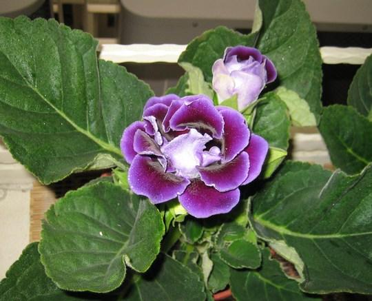 Dark purple Gloxinia (sinningia speciosa)