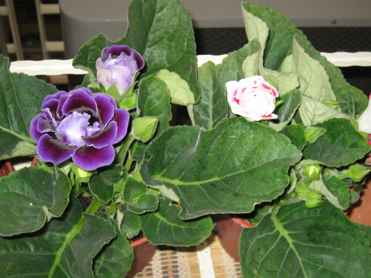 Purple and red gloxinia (sinningia speciosa)