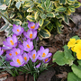 Crocus_and_primula