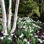Jacquemontii,snowdrops and cyclamen