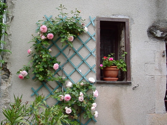 Climbing rose outside our holiday Gite in France.