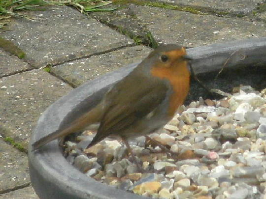 Robin .. one of his feeding places
