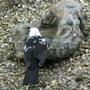 Black_and_white_blackbird