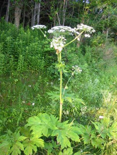 Giant Higweeds (Heracleum)