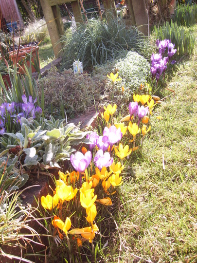 Crocuses (crocus)