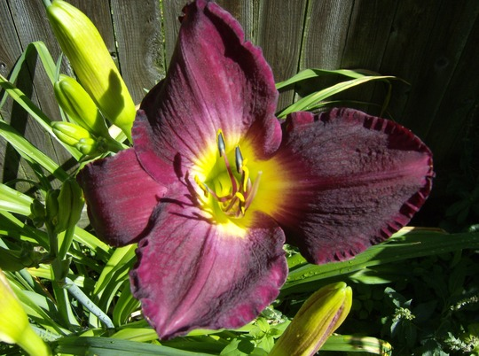 Strutters Ball Day Lily