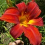 """Day Lily """" Scarlet """""""