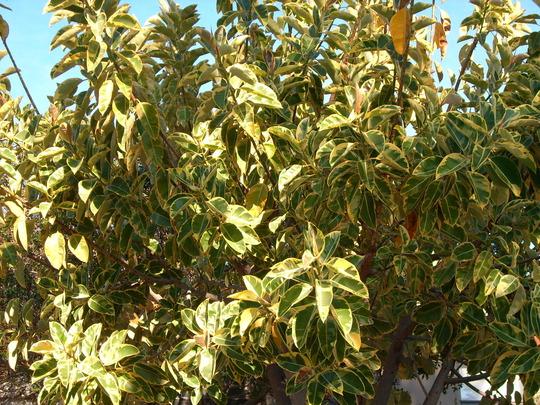 """Ficus elastica """"decora"""" variegata (Ficus elastica """"decora"""" variegata)"""