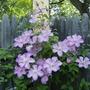 """Cematis """" Lavender Splendor """""""