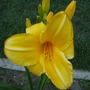 """Day Lily """" Bebbie Wong """""""