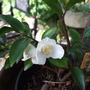 Camellia transnokoensis (Camellia transnokoensis)