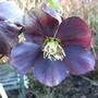 Helleborus x Hybridus Blue Lady  (Helleborus x Hybridus)