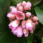 Bergenia_elephants_ear