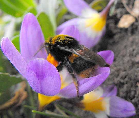 My 1st Bumble Bee Photo 2009