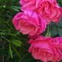 My lovely rose