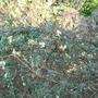 Clematis cirrhosa var balearica 1 (Clematis cirrhosa)