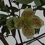 Clematis_cirrhosa_var_balearica_3.jpg (Clematis cirrhosa)