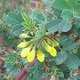 Coronilla valentina subsp glauca var 'Citrina' (Coronilla valentina)