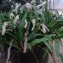Orchid in a pot (Dendrochilum glumaceum)