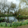 Sherfield pond (narcissus)