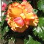 begonia gold&orange