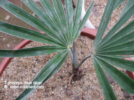 Trachycarpus princeps  (Trachycarpus princeps)