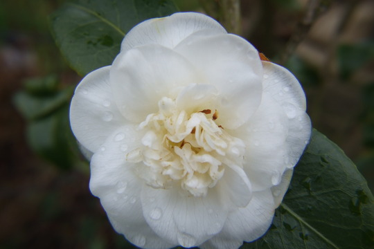 Don't cry.... (Camellia japonica (Camellia))