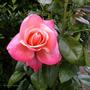 003.silver_jubilee_rose