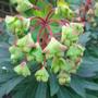 Euphorbia 'Redwing' - March 2009 (Euphorbia characias (Spurge))