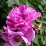 013._rugosa_rose_roseraie_de_l_hay