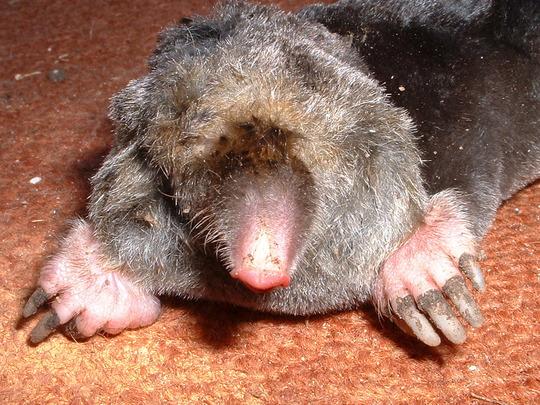 Mr Mole ,  my garden enemy.