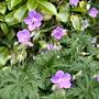 040.geranium