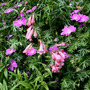 Penstemon and geranium
