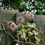 Clematis Markham Pink seed heads