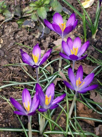Purple Crocus (Crocus)