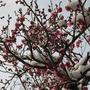 Prunus mume (Japanese: Ume)  (Prunus mume)