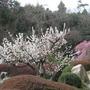 Prunus mume form. pendula - 1 (Prunus mume form. pendula)