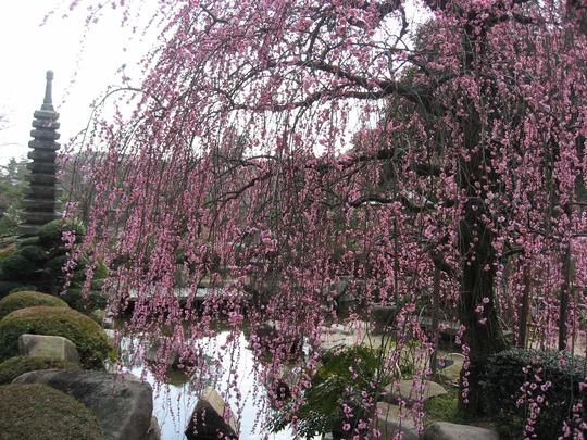 Prunus mume form. pendula - 4 (Prunus mume form. pendula)