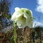 White_hellebore_1st.yr._flower